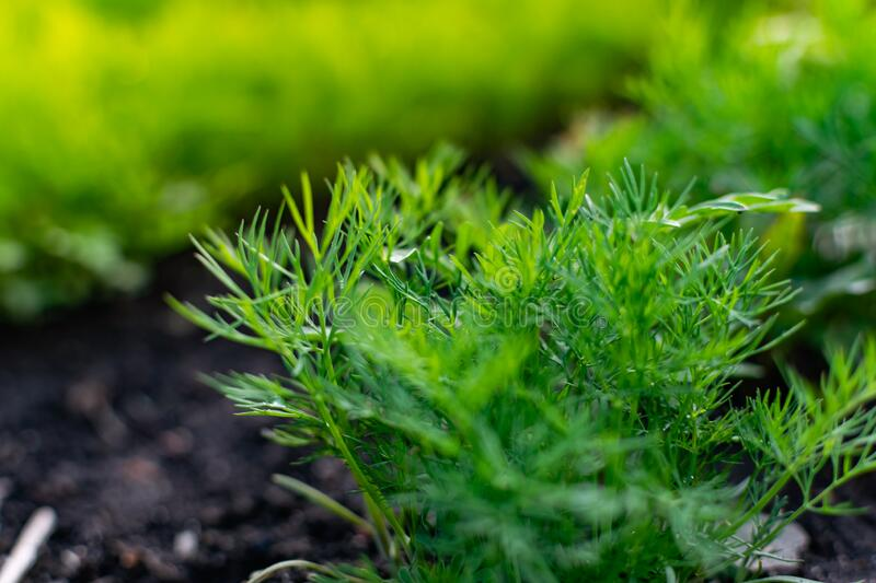 Young dill in an earthen bed. The crop grows in holes on the home farm. stock image
