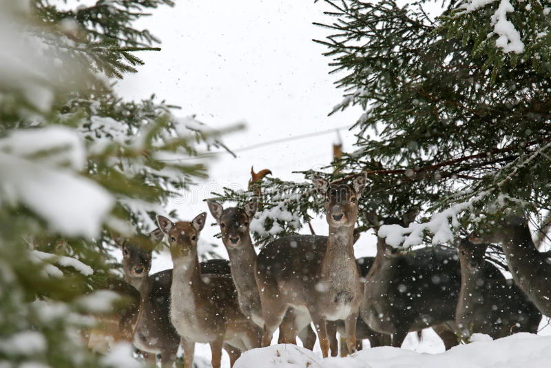 Young doe, female deer, standing in the forest during a snowfall. A herd of young doe, female deer, standing in the forest during a snowfall royalty free stock images
