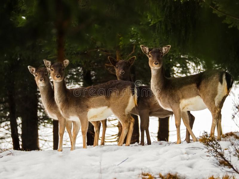 Young doe, female deers standing in the snow forest during winter in Austria royalty free stock images