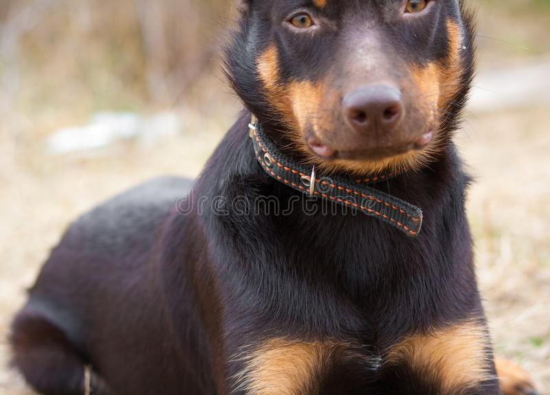 A Young Dog Of The Australian Kelpie Breed Plays In The
