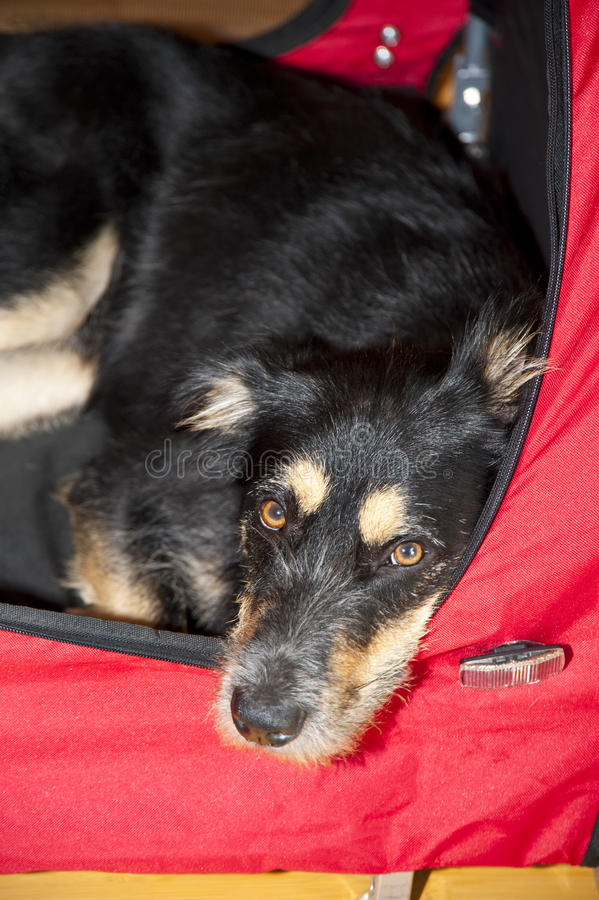 Young Dog Royalty Free Stock Photos