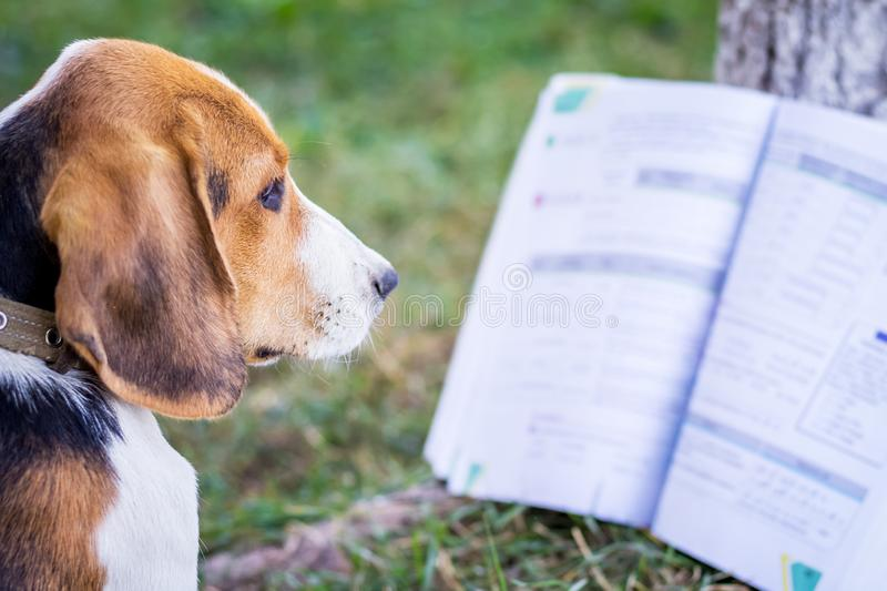 The young dog of breed an Estonian hound near an open book. Reading books on nature_ royalty free stock photo
