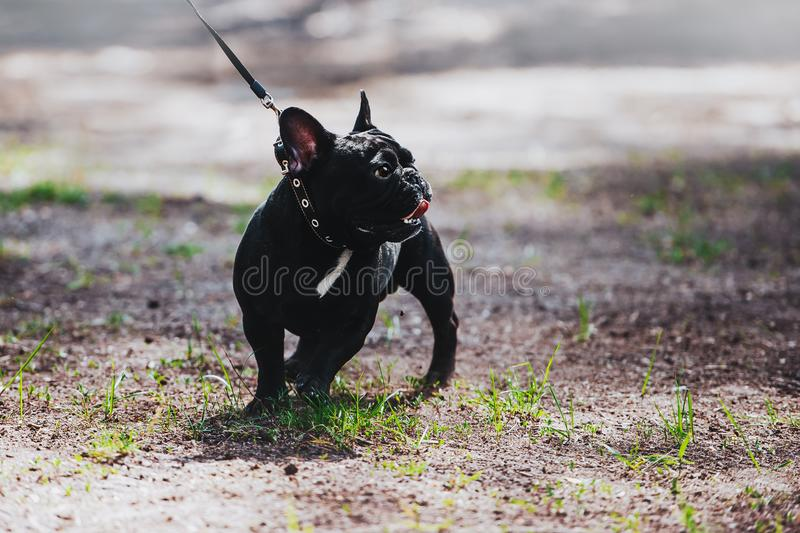 A young dog of the breed is a French bulldog on a leash. Portrait of a thoroughbred dog. royalty free stock images