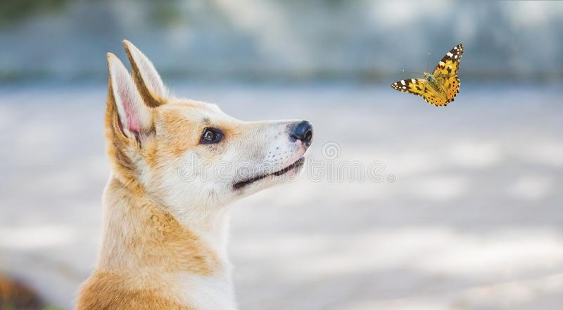 Young dog of breed a husky laika watching the butterfly fly around it_ royalty free stock photography