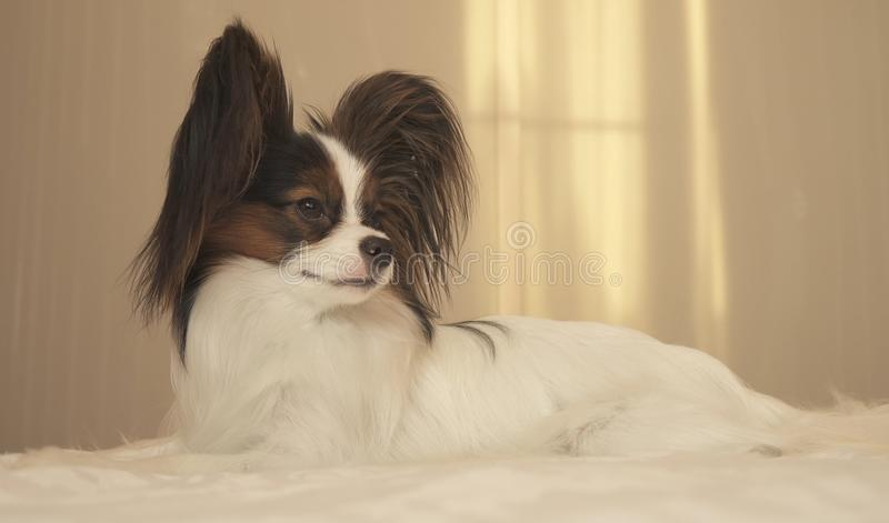 Young dog breeds Papillon Continental Toy Spaniel lies on bed. Young dog breeds Papillon Continental Toy Spaniel lies on the bed stock images