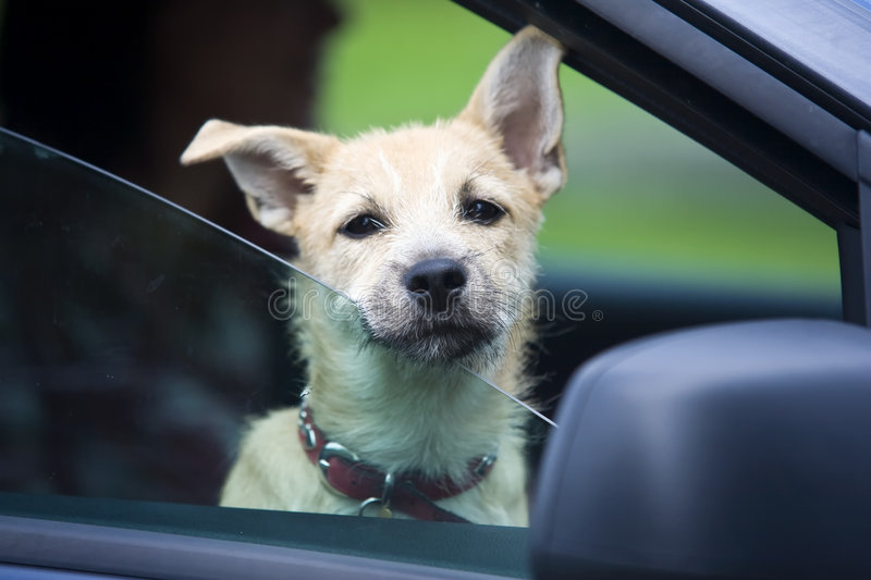 Download Young Dog in Car stock image. Image of domestic, guardian - 7089325