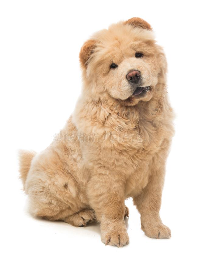 Young Dog chow chow sitting looking forward. On a white background royalty free stock photos