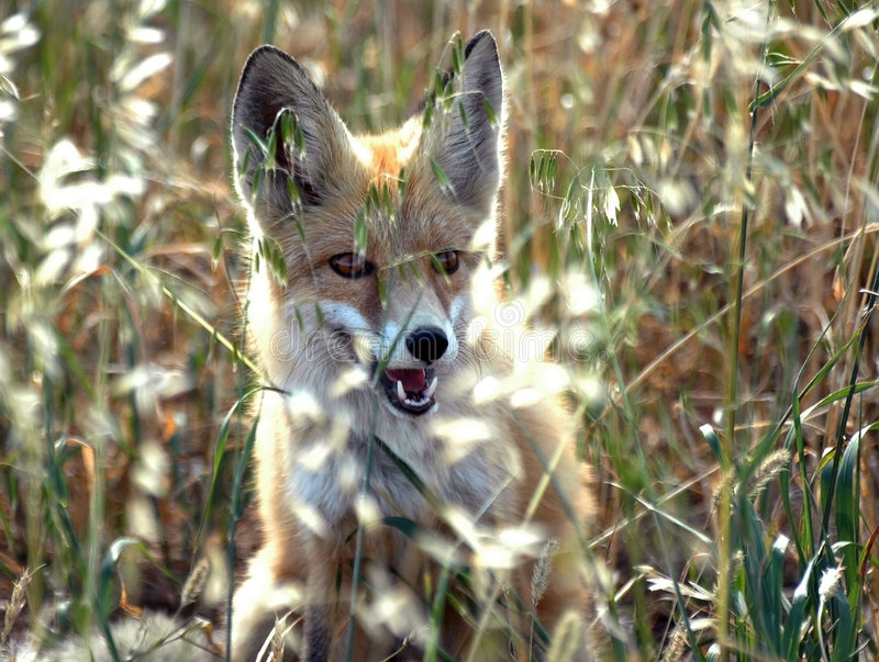 Young dog-fox on the oat field stock photo