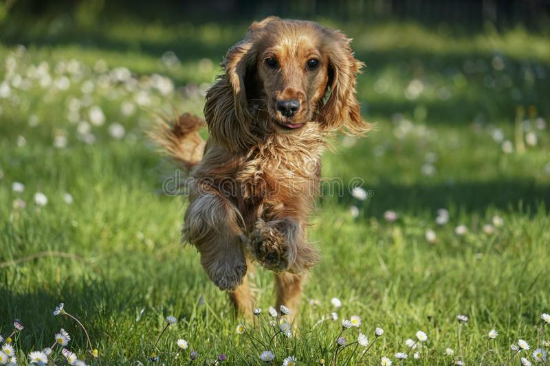 Young dog running on the grass stock image