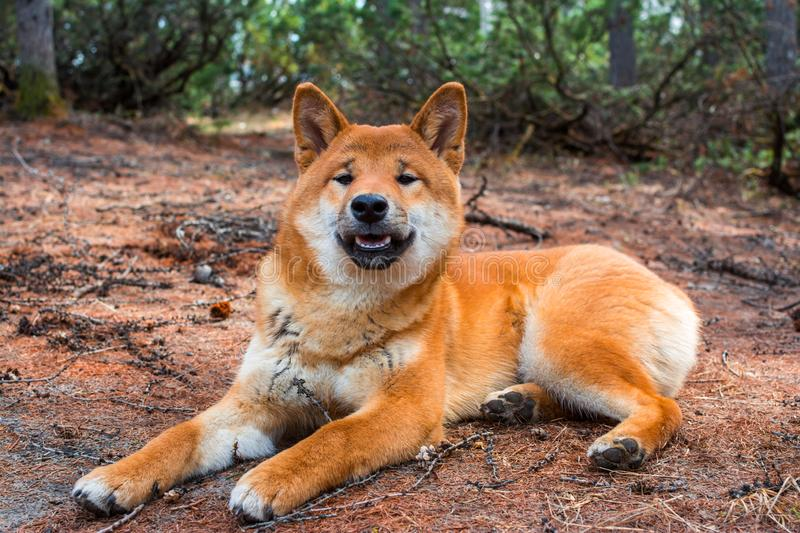 The young dog shiba-inu is lying down resting on the ground royalty free stock photography