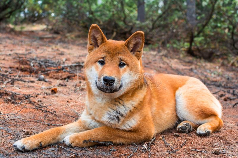 The young dog shiba-inu is lying down resting on the ground stock images