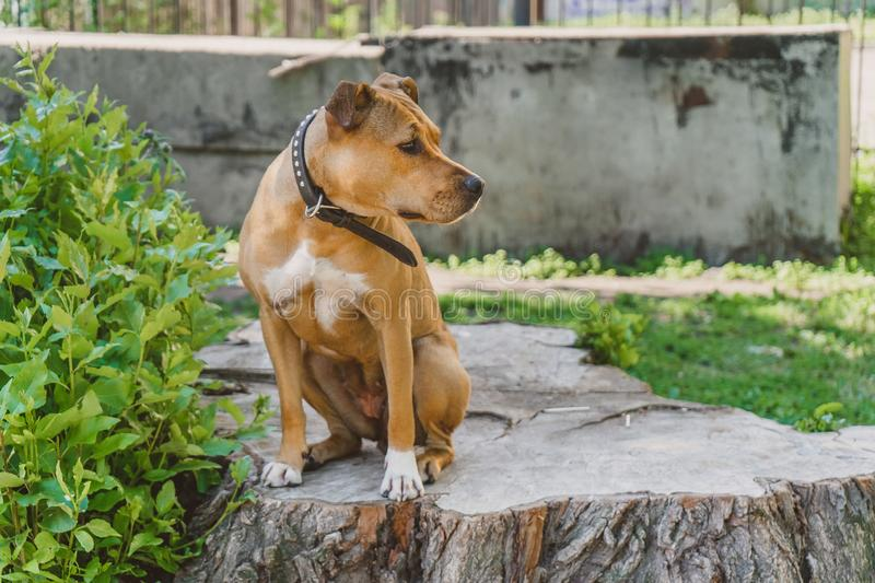 Young dog Staffordshire terrier sitting profile portrait stock photos