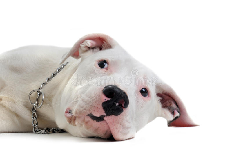Download Young dogo argentino stock photo. Image of argentinian - 19271650