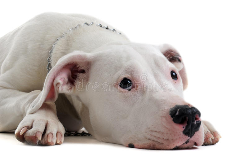 Download Young  dogo argentino stock photo. Image of tired, puppy - 23519202