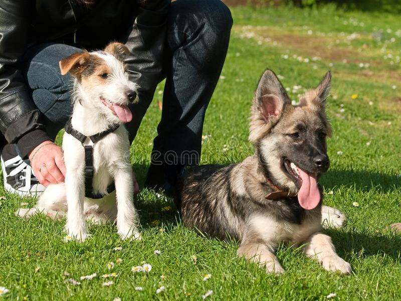 Download Young Dogs stock image. Image of breed, alsatian, animals - 14045799