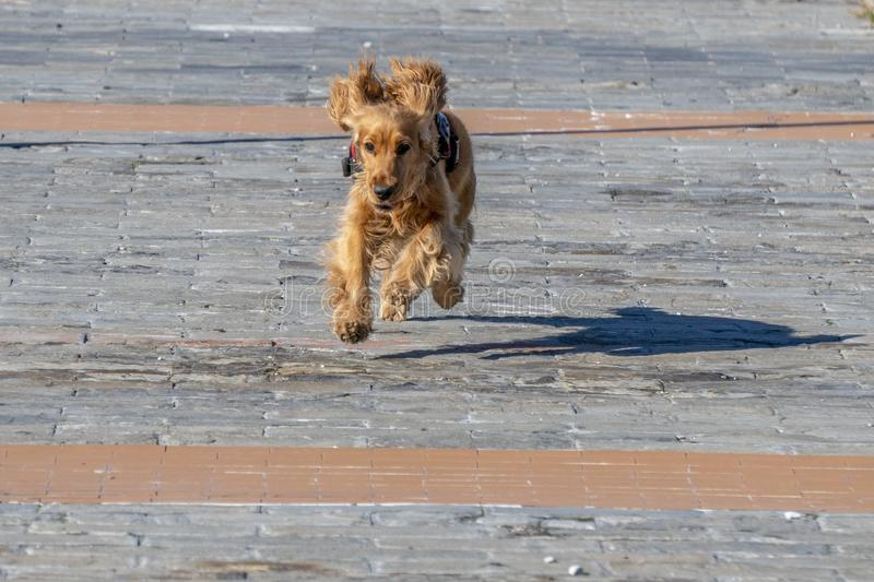 English cocker spaniel young dog puppy running to you stock photos