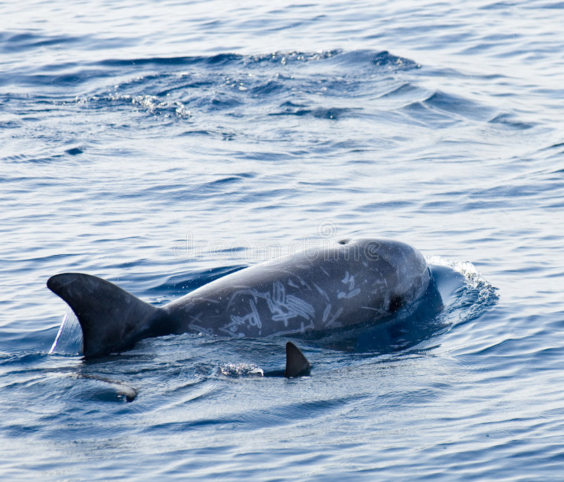 Young Dolphin Stock Images