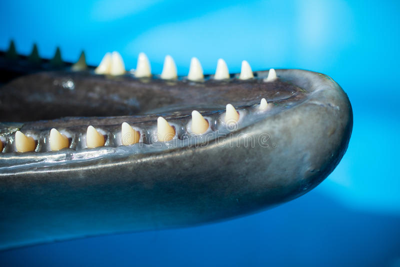 Young dolphin's teeth royalty free stock image