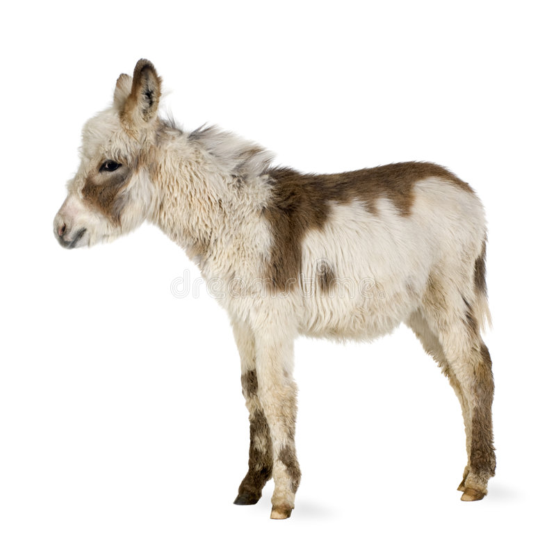 Free Young Donkey Royalty Free Stock Images - 3915079