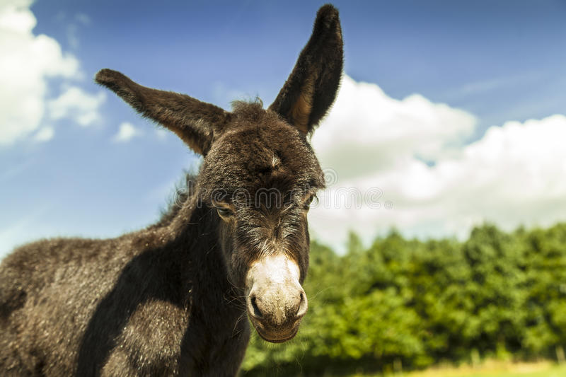 A Young Donkey. Donkey in a field. ideal copy space on right side stock photography