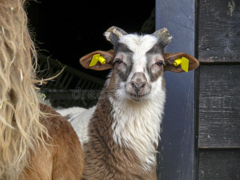 Young Drent Heath Sheep with broken horns and yellow ear tags in front of a stable. Brown and white spots and humanly soft expression stock photo