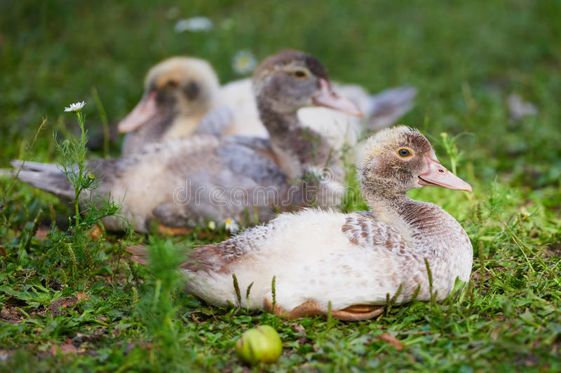 Young ducks on traditional free range poultry farm royalty free stock photo