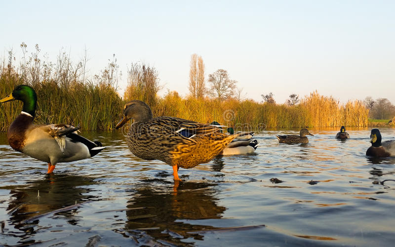 Young ducks in water. They live quiet young ducks in the pond royalty free stock photography
