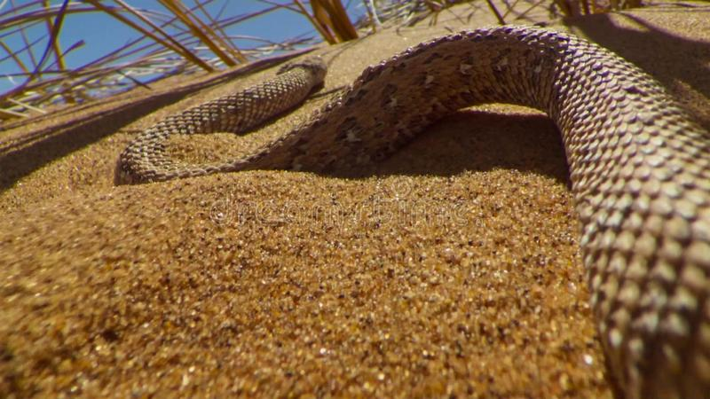 Young dune adder or sidewinder snake with trail in the Namib desert, Namibia. Wildlife concept royalty free stock photos