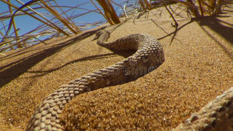 Young dune adder or sidewinder snake with trail in the Namib desert, Namibia. Wildlife concept stock photos
