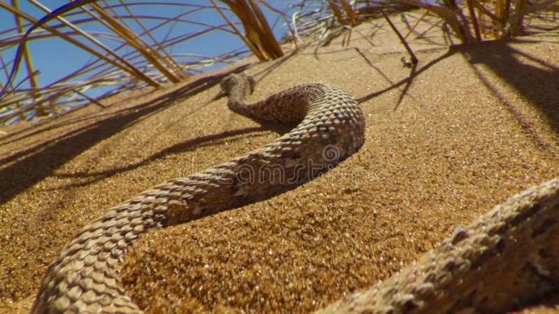 Young dune adder or sidewinder snake with trail in the Namib desert, Namibia. Wildlife concept stock photography
