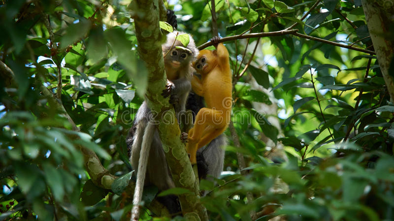 Young dusky leaf monkey Trachypithecus obscurus on tree at Kaeng Krachan National Park, Thailand. stock images