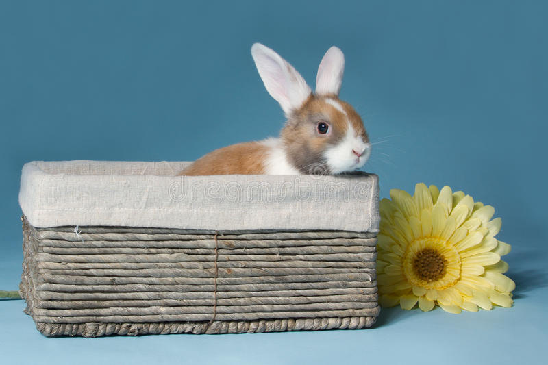 Young mini-lop rabbit in basket. Young Dutch mini-lop rabbit in basket stock image