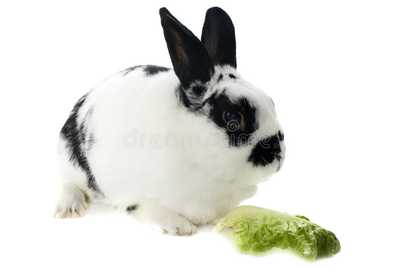 Young dwarf rabbit. Black and white in front of white background royalty free stock photography