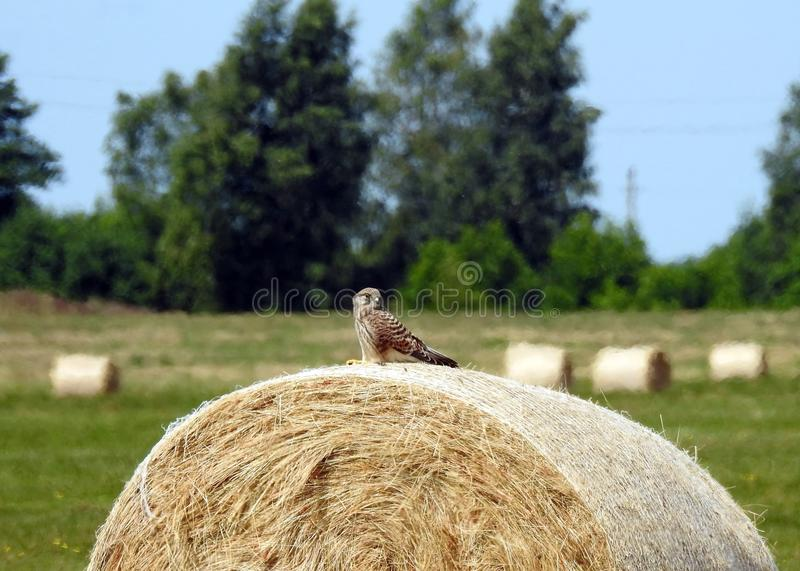 Young eagle bird on hay ball, lithuania stock images