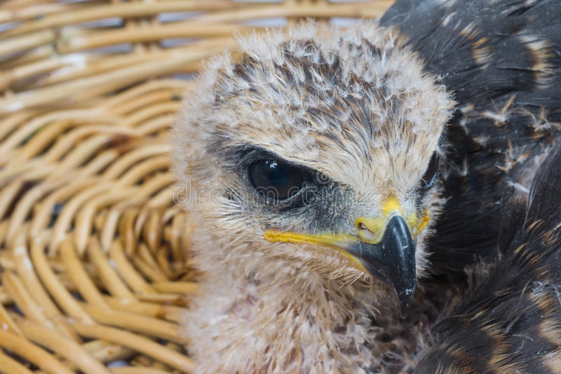 Young eagle. Over white background stock photo