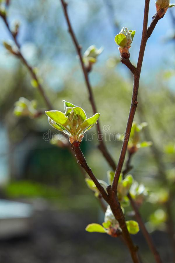 Young early apple branches at blue sky. stock photography