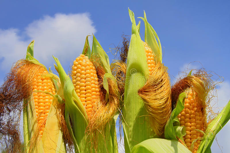 Download Young Ears Of Corn Against The Sky Stock Photo - Image: 26975066