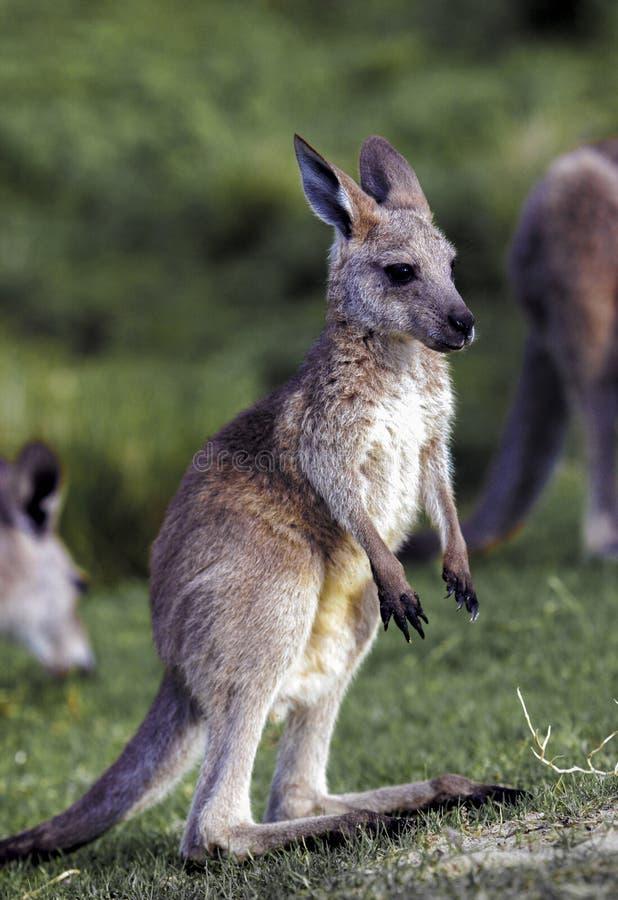 Young eastern grey kangaroo Macropus giganteus stock photo