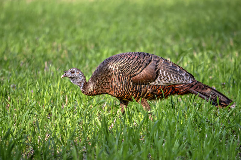 Young Eastern Wild Turkey Hen royalty free stock photography