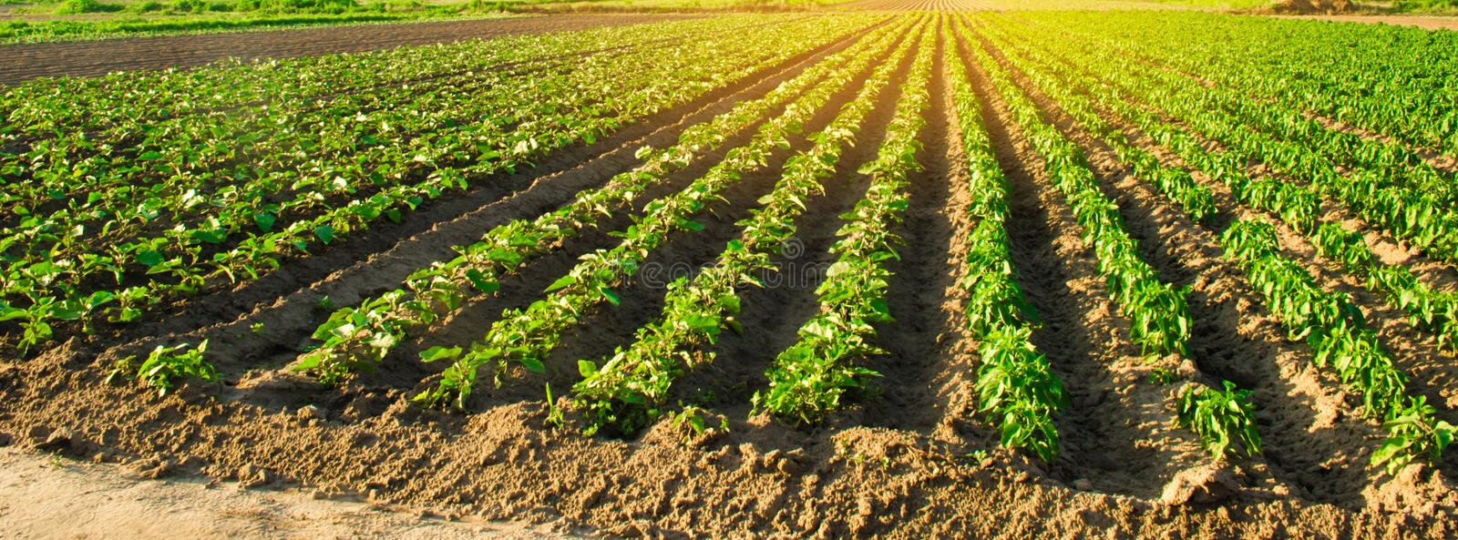 Young eggplants grow in the field. vegetable rows. Agriculture, farming. farmlands. Landscape with agricultural land. banner. Selective focus stock photo