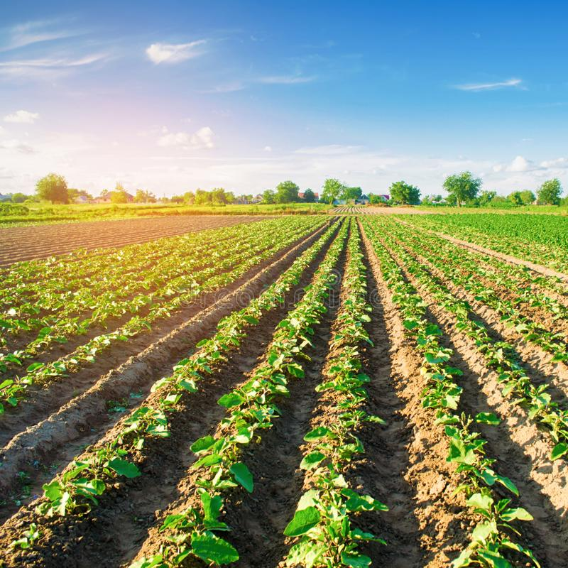 Young eggplants grow in the field. vegetable rows. Agriculture. farmlands. Landscape with agricultural land.  royalty free stock photos