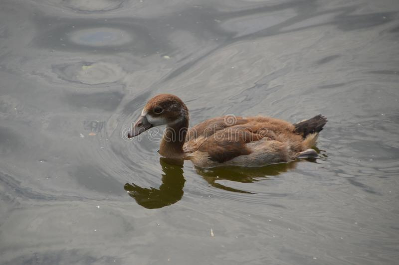 Young Egyptian Goose. Swimming alone royalty free stock photography