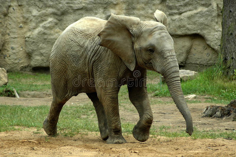 Download Young elephant stock photo. Image of young, baby, africa - 161374