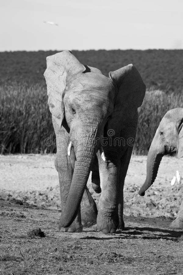 Young Elephant Bull stock images