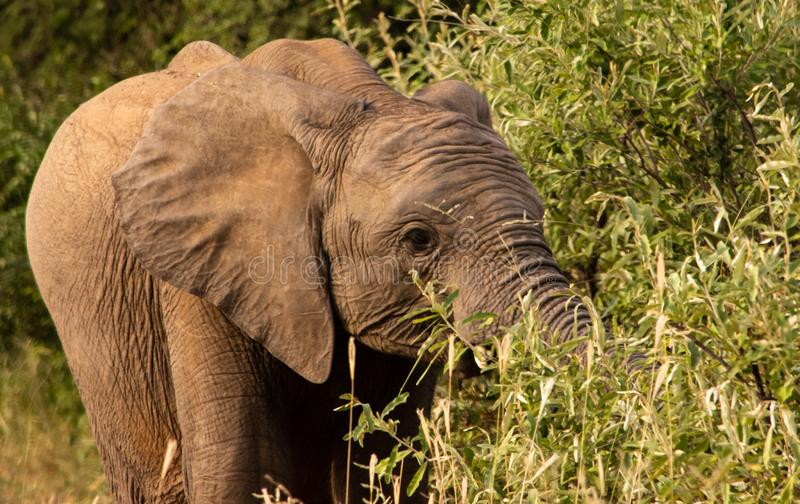 Young elephant grazing on a tree stock image