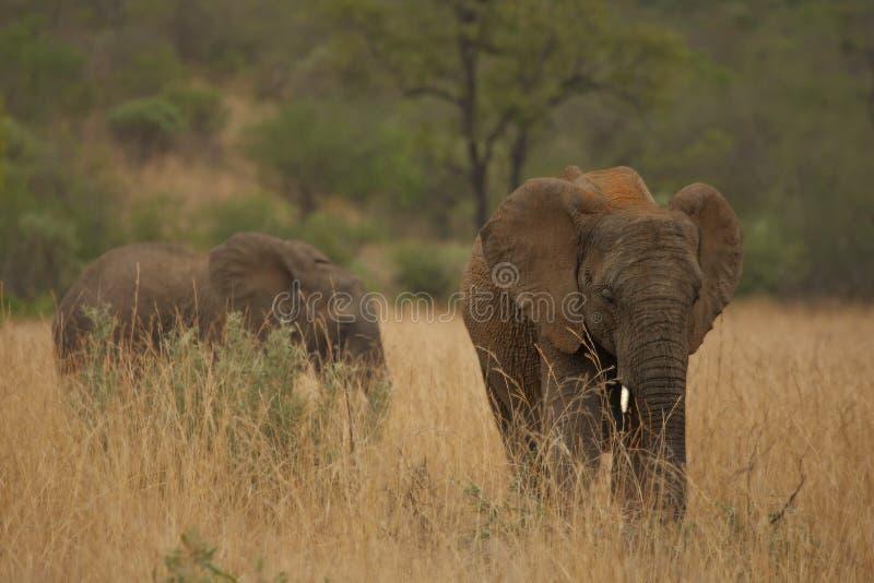 Young Elephant Loxodonta africana in Pilanesberg National Park. royalty free stock photos