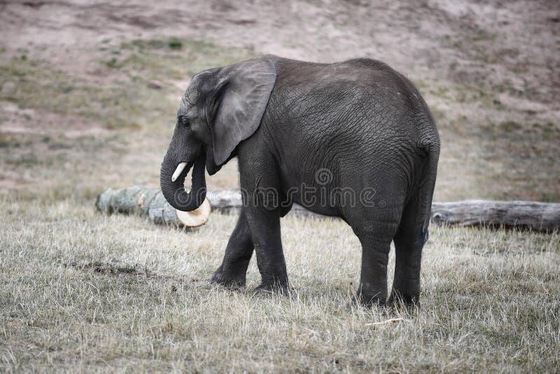 Elephant. A young elephant named Sutton at West Midlands Safari Park stock photos