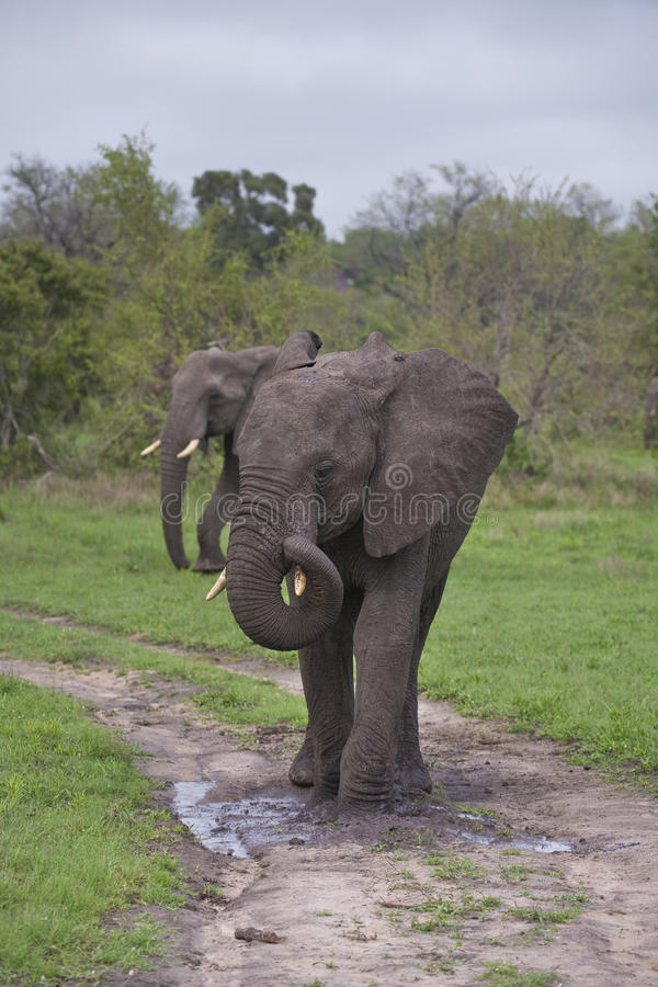 Free Young Elephant Pair Royalty Free Stock Photo - 30957765