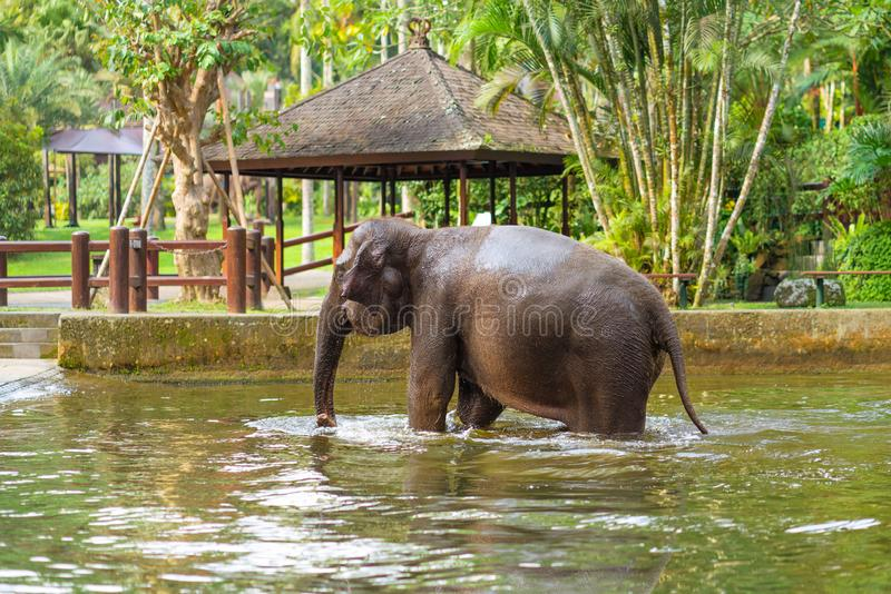 Young elephant swimming in the pool on the background of gazebos and palm trees stock images