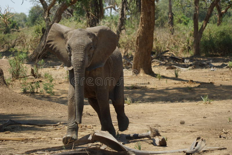 Young elephant threatening us. Young elephant trying to intimidate disturbing visitors stock image
